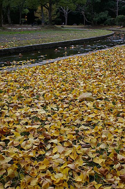 サクサクと 落ち葉の道に 歩を進む