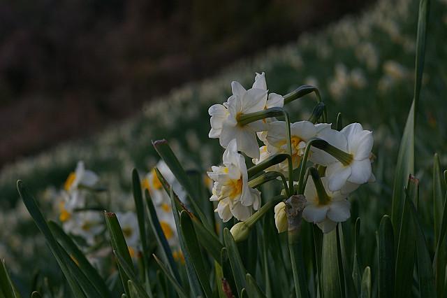 水仙も 八重に咲くとは 知らざりき