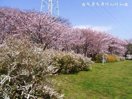 さくら草公園①