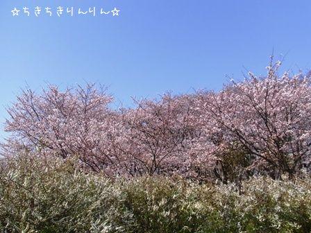 さくら草公園②
