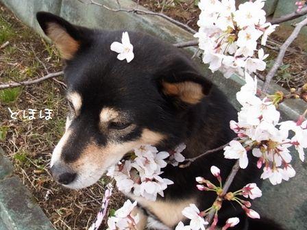 戸田桜堤④