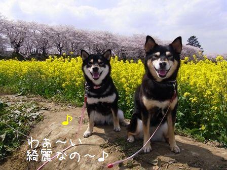 権現堂桜堤①