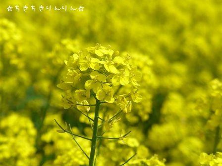 権現堂桜堤④