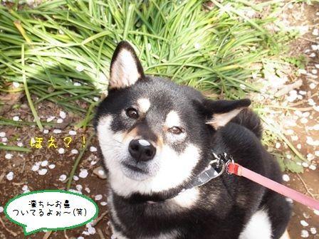 権現堂桜堤⑧