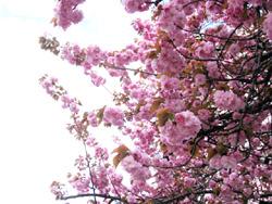 自宅そばの桜
