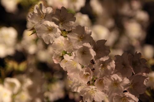 平野神社寝覚桜!