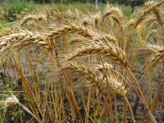 R0018795小麦