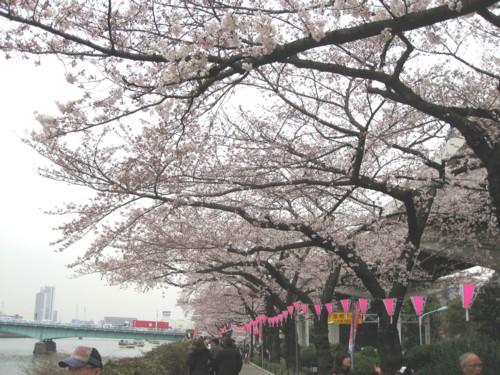 墨堤公園 桜並木1