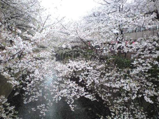 目黒川花見3