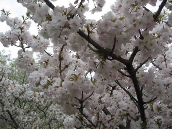 仁和寺 御室桜アップ1