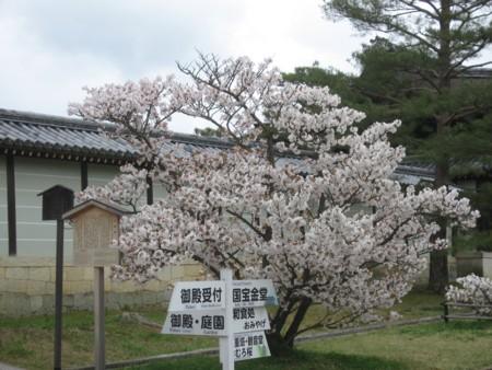仁和寺 御室桜1