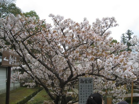 仁和寺 御室桜2