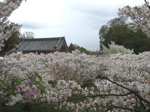 仁和寺 御室桜4