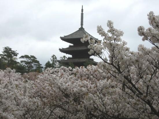 仁和寺 御室桜3