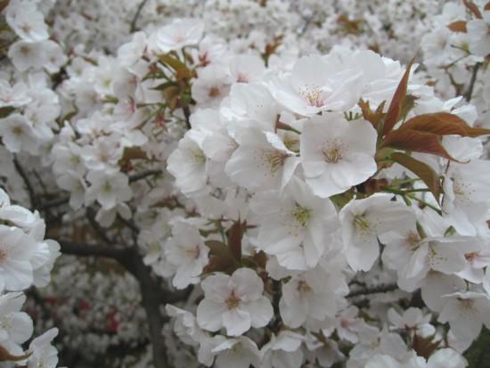 仁和寺 御室桜アップ2