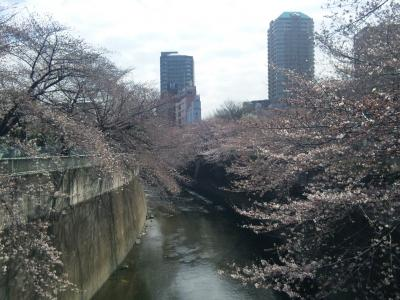 神田川桜下流