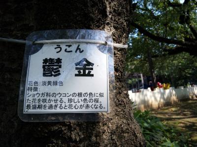 ウコンの木