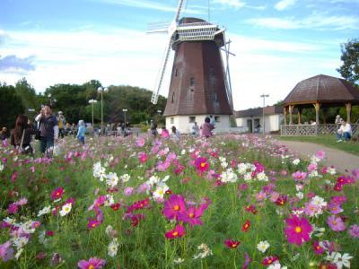 コスモスと風車小屋