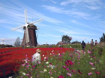 サルビアと秋桜と風車小屋