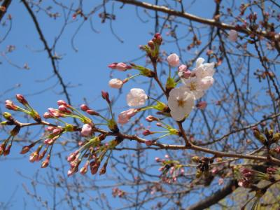 22-3-27桜