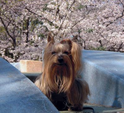 公園の桜とクッキー