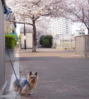 運河沿いの桜①
