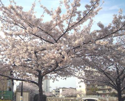 運河沿いの桜③