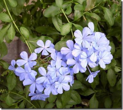 瑠璃色のお花♪