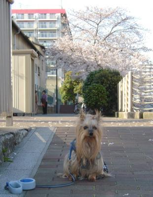 遊歩道の桜①