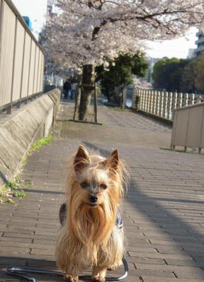 遊歩道の桜②