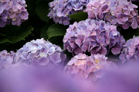 α100620紫陽花 - 280