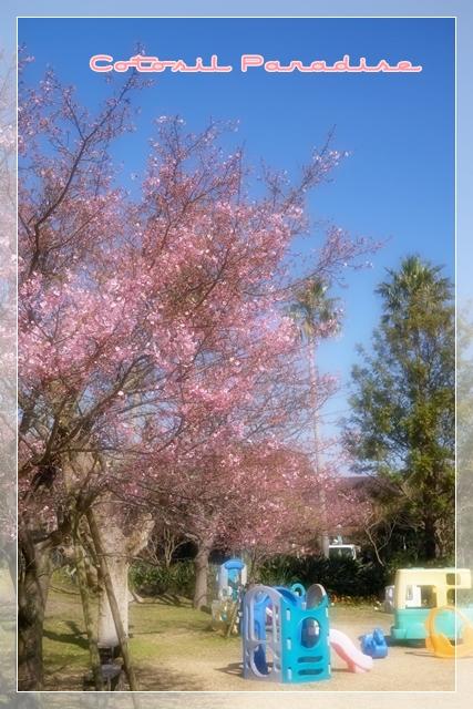 桜咲く12