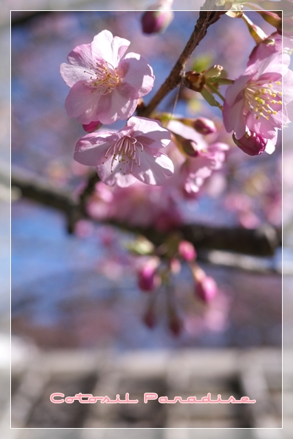 桜咲く14