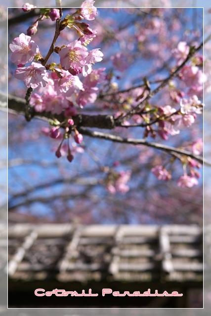 桜咲く13