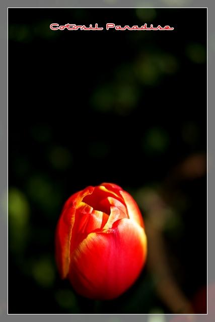 桜咲く24