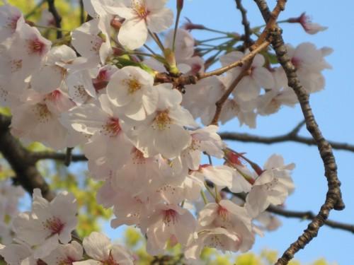 帰りの公園の桜