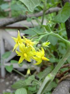 0613プチトマトのお花