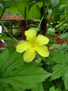 0722ゴーヤさんの花盛り