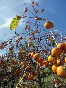1020柿の木
