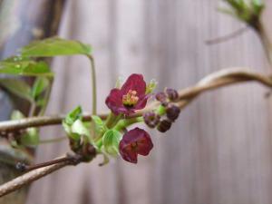 ミツバアケビ雌花