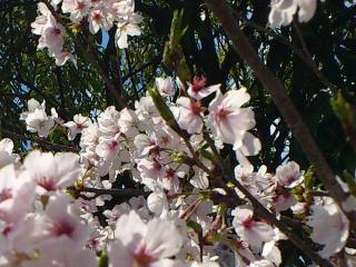 2012.04.14 桜1.jpg