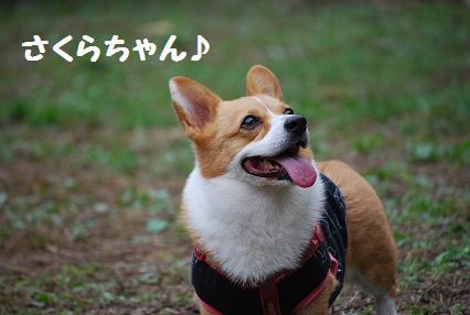 さくらちゃん1