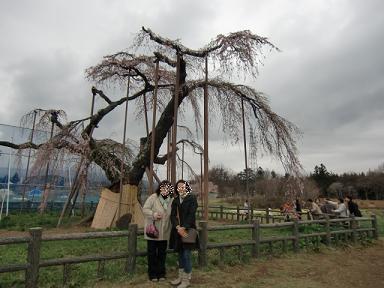 神田の一本桜
