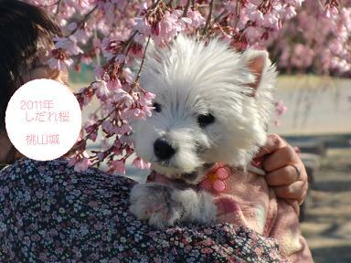 しだれ桜とクララ