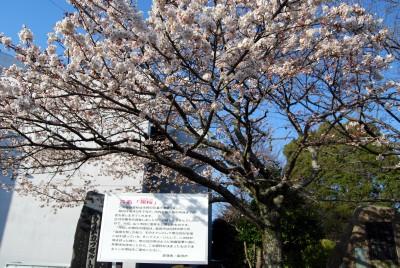 帯桜 006