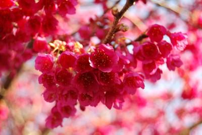 帯桜 019