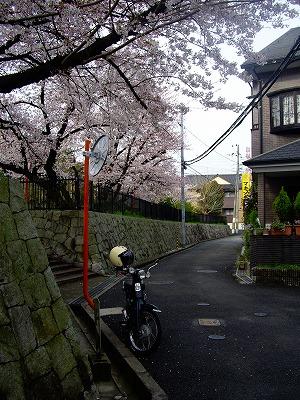 sakura to cub