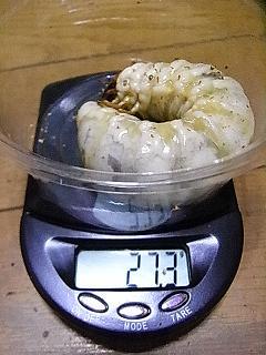 久留米 幼虫 I-1
