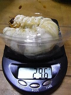 久留米 幼虫 K-2