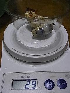 ユダイクス 幼虫1